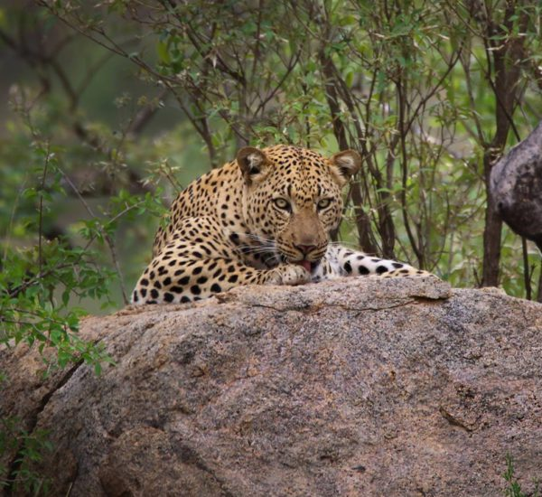 Cawston Wildlife Estate - Leopard