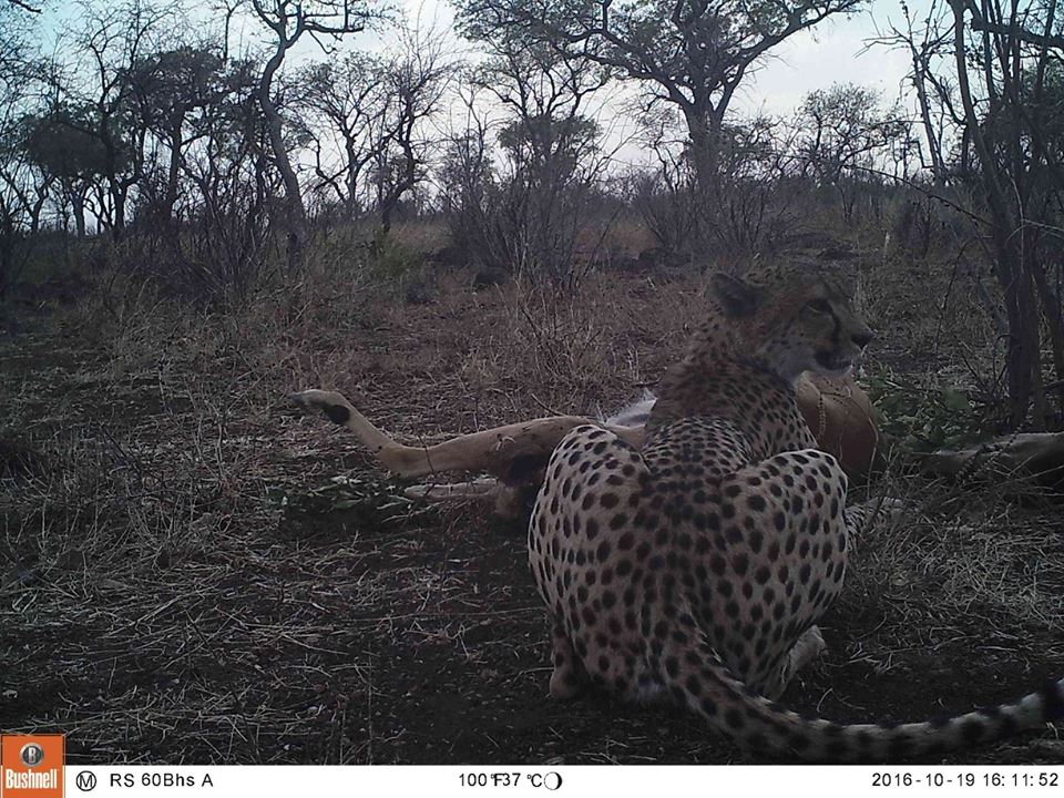 A surprise visit from a Cheetah