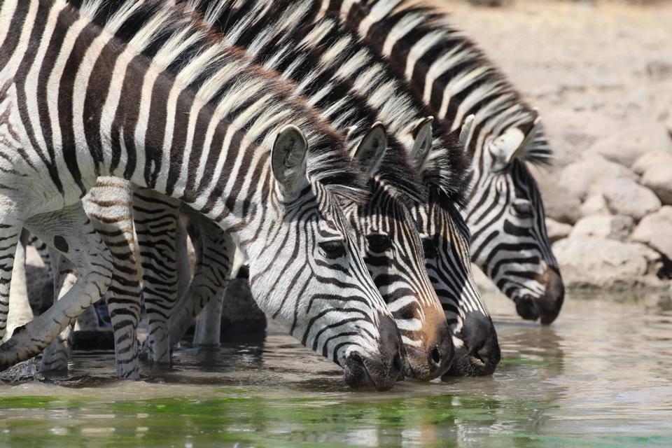 Cawston Wildlife Estate zebra