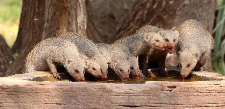 Cawston Wildlife Estate mongoose