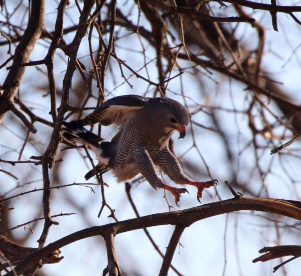Cawston Wildlife Estate buzzard