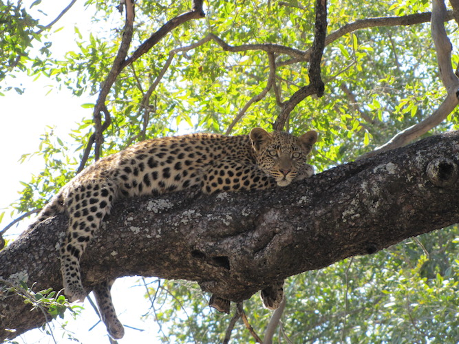 CWE leopard