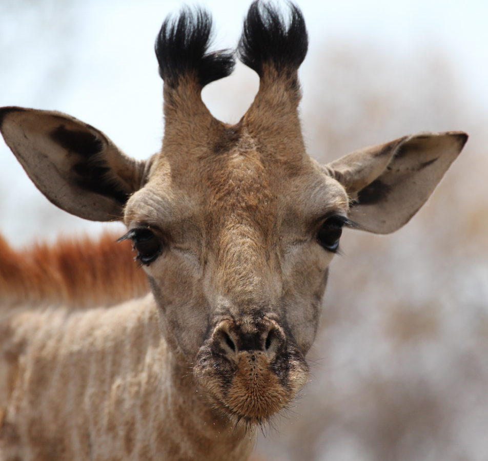 CWE giraffe close