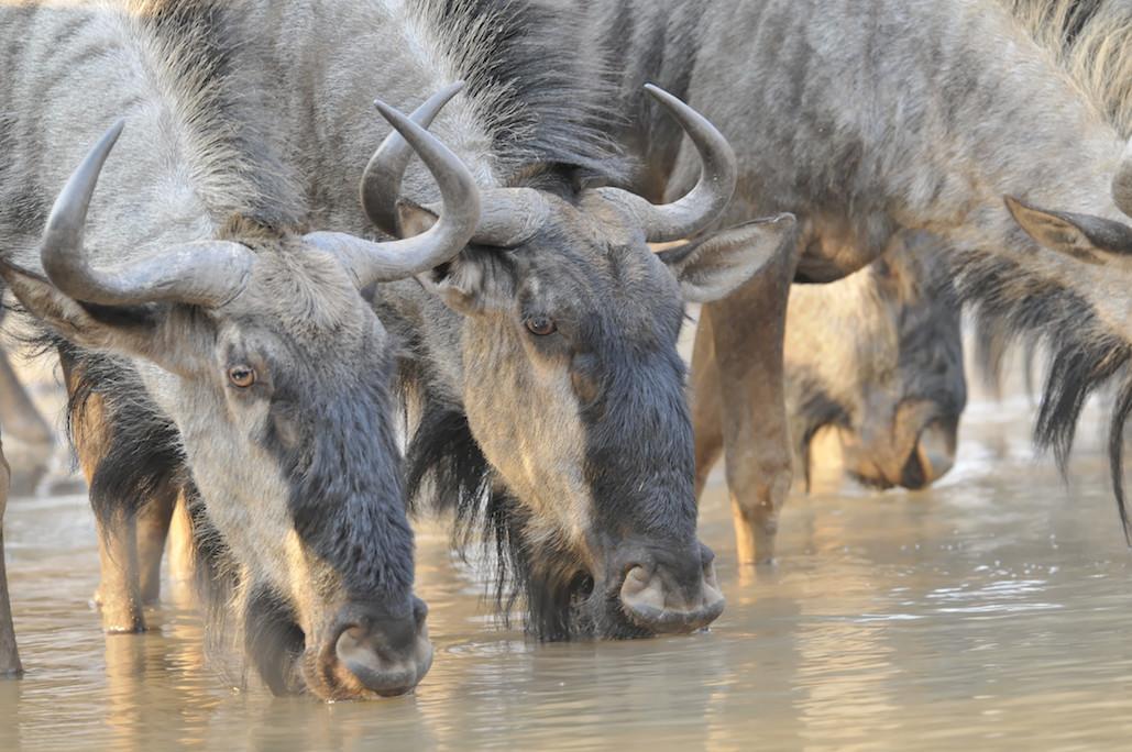 Cawston Wildlife wildebeest
