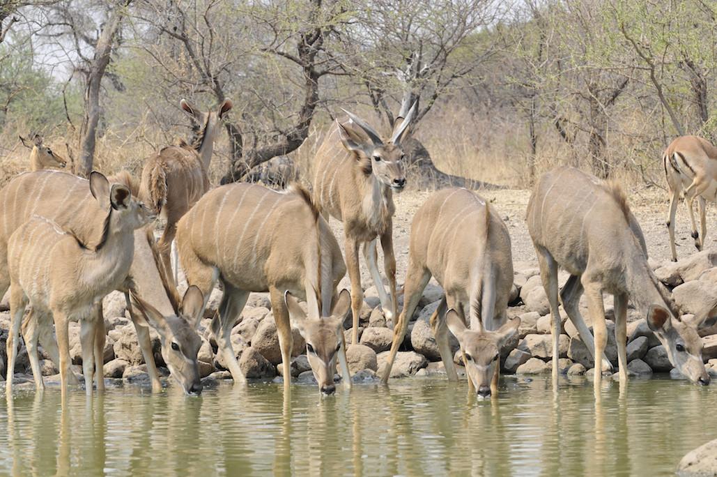 Cawston Wildlife Kudu